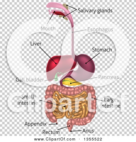 Clipart Of A 3d Labeled Diagram Of The Human Digestive System