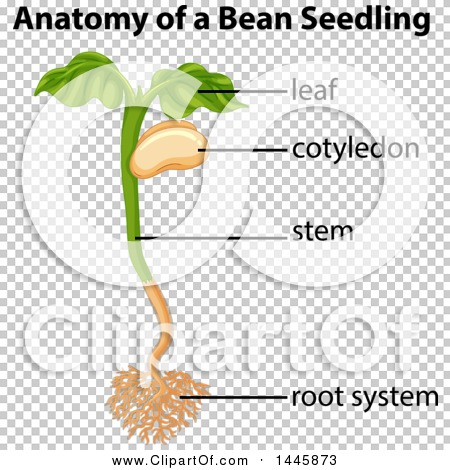 Bean planting diagram easy to read wiring diagrams clipart of a diagram of the anatomy of a bean seedling plant showing rh clipartof com cluster bean plant diagram broad bean plant diagram ccuart Image collections