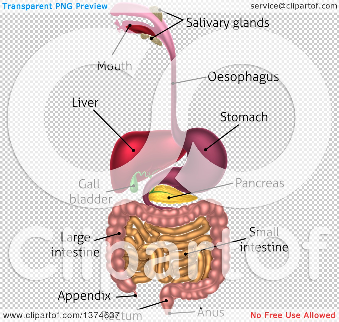 Clipart of a digestive tract diagram labeled with text royalty png file has a pooptronica