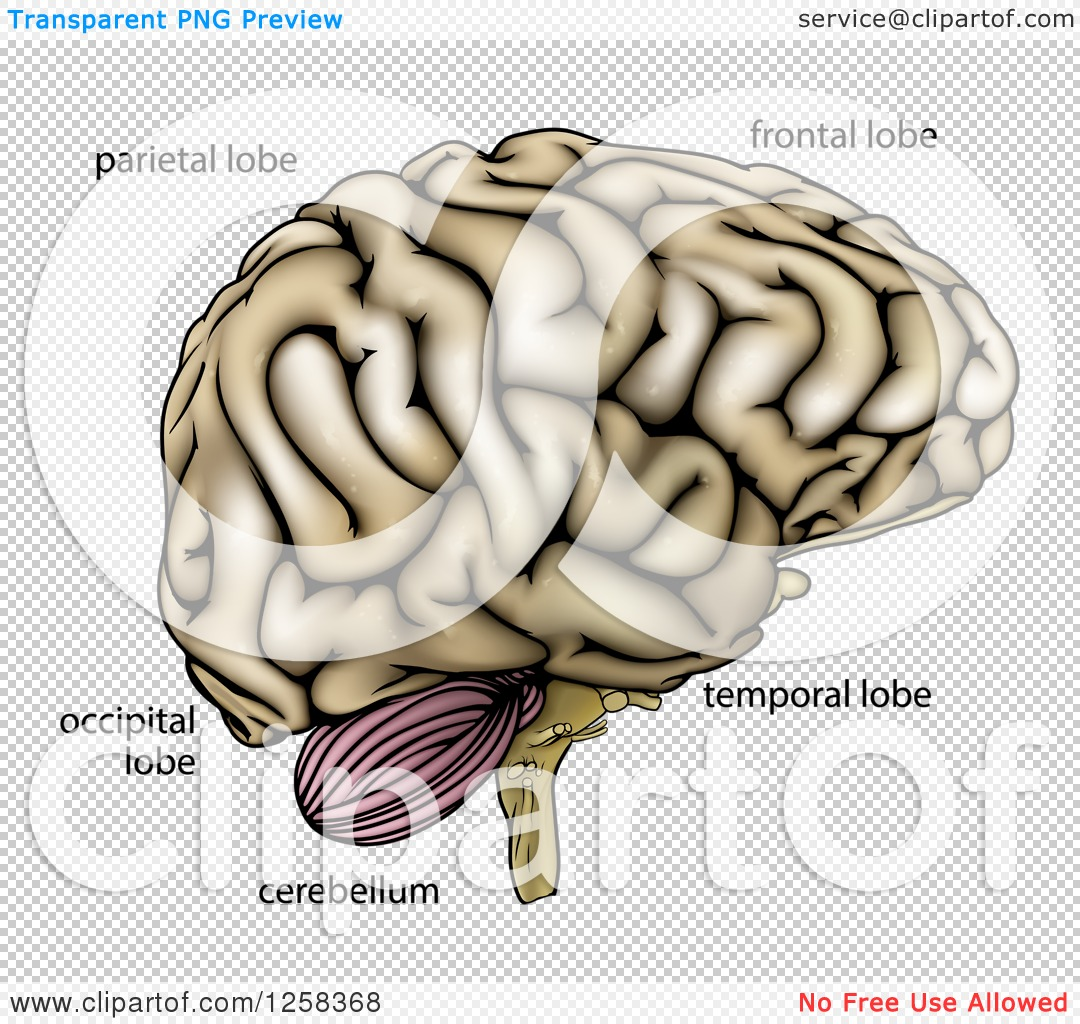 Clipart Of A Human Brain With Anatomically Correct Section Labels