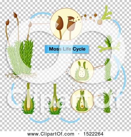Clipart Of A Moss Life Cycle Diagram Royalty Free Vector