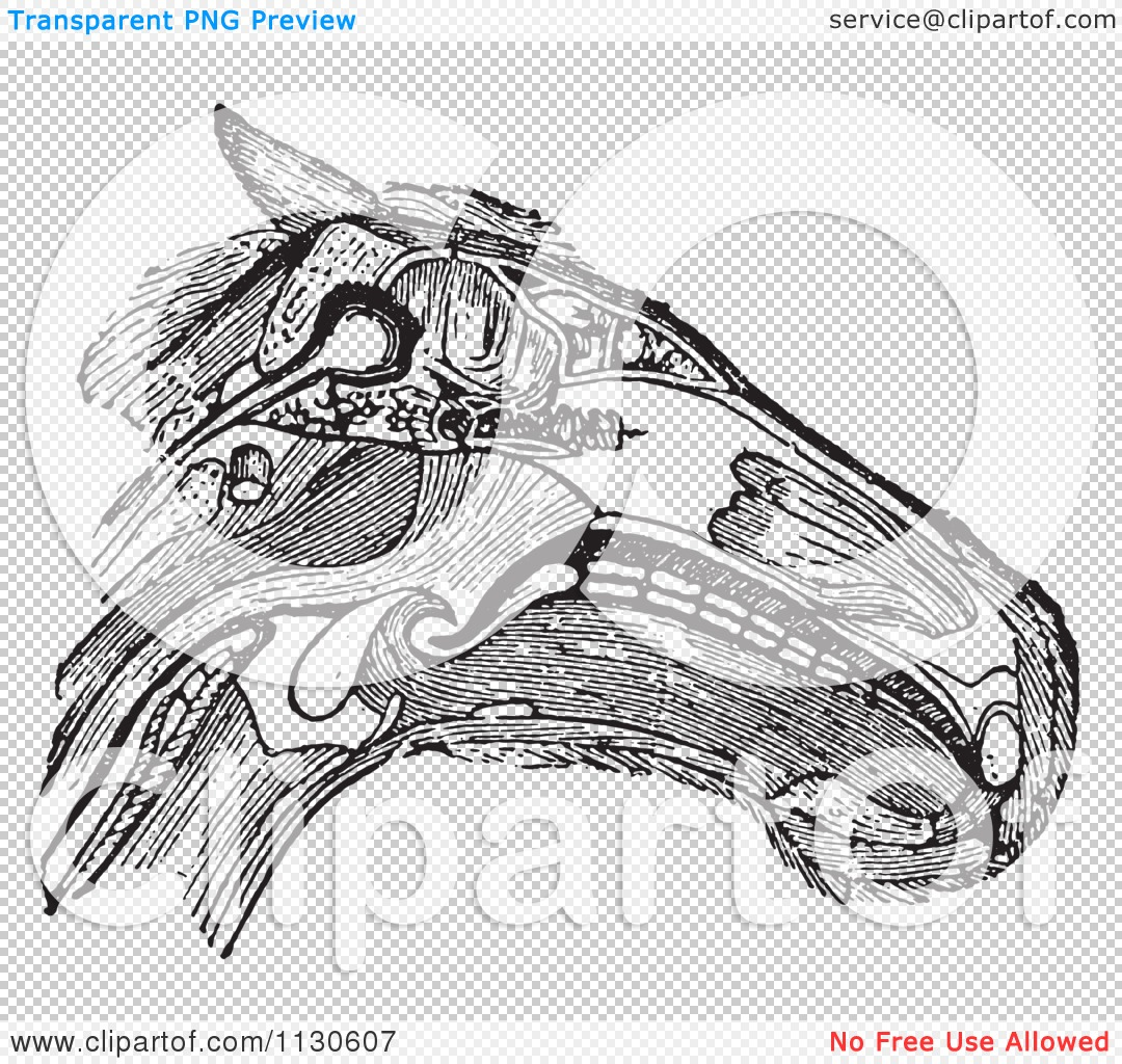 Clipart Of A Retro Vintage Diagram Of A Horse Head With Muscles ...